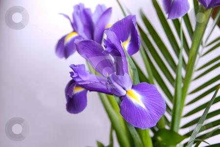 Irises stock photo, Spring purple flowers irises over white background by Julija Sapic