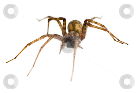 Isolated Spider stock photo, Closeup view of a spider, isolated against a white background by Richard Nelson