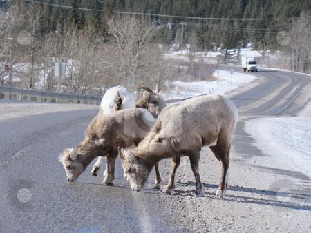 Rocky mountain goats stock photo, Rocky mountain goats eating salt along the highway by CHERYL LAFOND