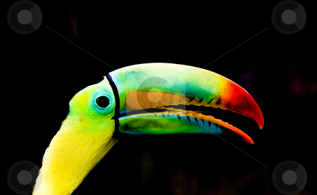 Toucan stock photo, Nice toucan portrait by Luca Bertolli