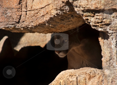 Lurking in the Shadows stock photo, A cougar lurking in the shadows of small cave. Not the kind of thing one wants to see when one is hiking alone. by Mike Dawson