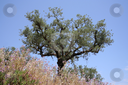 Olive Tree stock photo, Showing the twisty nature of the Meditterranean olive tree against an azure sky by Helen Shorey