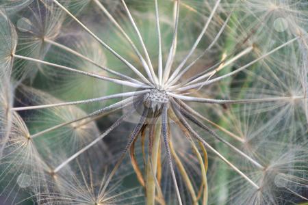 Giant Dandelion Seedhead stock photo, Greek dandelion, about 4 inch diameter by Helen Shorey