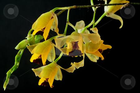 Baptistonia echinata stock photo, Baptistonia echinata, Oncidium, Orchid;photographed in March 2009 by Manuela Schueler
