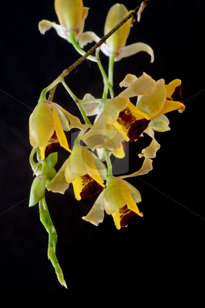 Baptistonia echinata stock photo, Baptistonia echinata, Oncidium, Orchid;