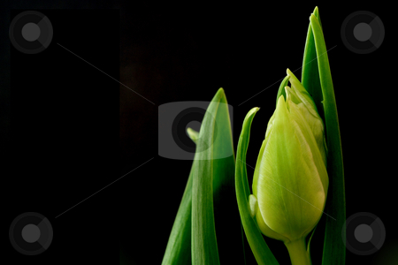 Tulips stock photo, Tulips with black background;  photographed near Frankfurt, Hessen, Germany by Manuela Schueler
