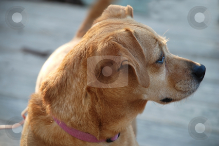 Cute puppy stock photo, Stock pictures of a cute puppy dog standing on a deck by Albert Lozano