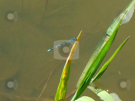 Blue Dragonfly stock photo,  by Michael Felix
