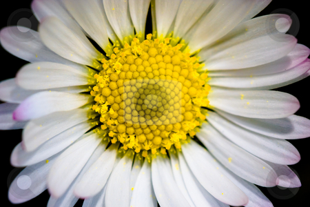Daisy stock photo, Beautiful daisy macro by Luca Bertolli
