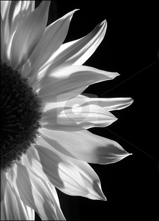 Sunflower by Torchlight mono stock photo, Long exposure, using pocket torch to backlight then converted to mono. Some grain added to simulate traditional methods by Helen Shorey