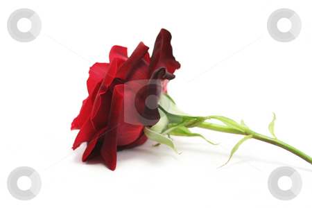 Red Rose from the side stock photo, A single rich red rose on a white background, viewed from the side by Helen Shorey
