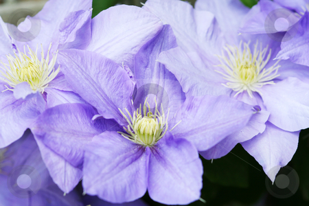 Clematis Group stock photo, Group of clematis flowers in full bloom by Helen Shorey