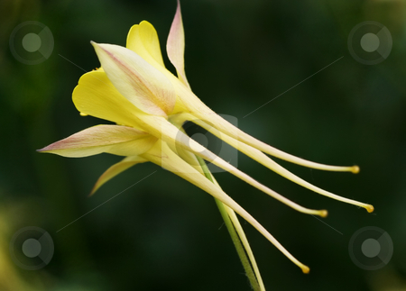 Yellow Aquilegia Rear View stock photo, Rear view of an unusual yellow Aquilegia. Also called a Granny's Bonnet by Helen Shorey