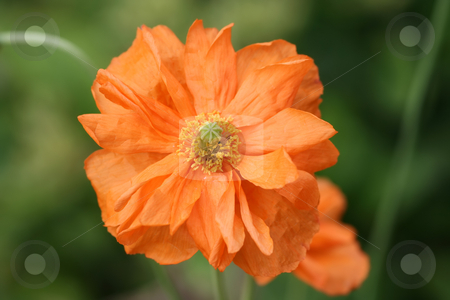 Double Petalled Orange Poppy stock photo, Orange poppy - unusual colour and with a double set of petals by Helen Shorey