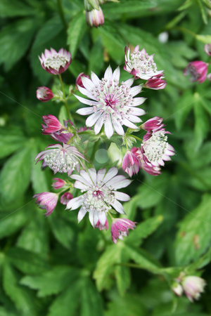 Astrantia  stock photo, Multiple blooms on the head of an Astrantia - one of the ruby coloured varieties by Helen Shorey