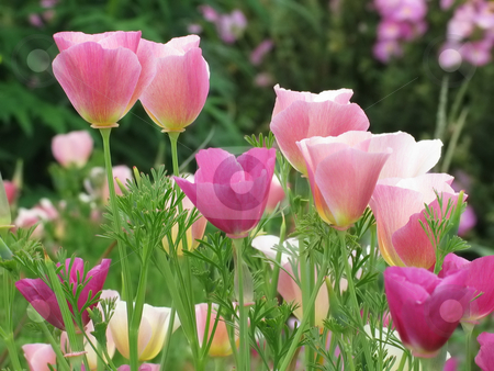 Pink Californian Poppies stock photo, Unusual pink Californian Poppies (escholzia) grown in a border by Helen Shorey