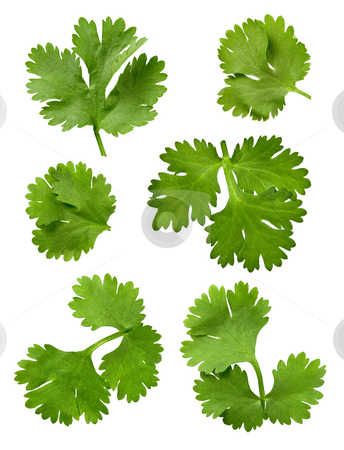 Cilantro Parsley stock photo, Cilantro Parsley isolated on a white background by Danny Smythe
