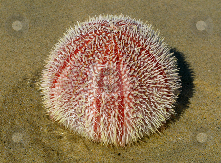Colorful fresh sea urchin (Echinus esculentus) on a British beach. stock photo, Colorful fresh sea urchin (Echinus esculentus) on a British beach. by Stephen Rees