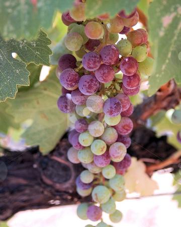 Zinfandel Grapes stock photo,  by Jennifer Benjamin