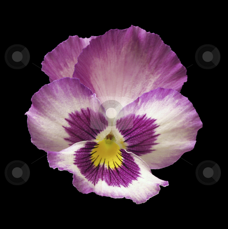 Pansy Flower stock photo, Pansy Flower isolated on a black background by Danny Smythe