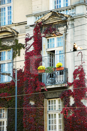 Ivy on window, fragment of Belgrade architecture stock photo, Autumn red and green  ivy over facade od classic building in Belgrade, Serbia by Julija Sapic