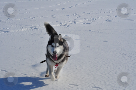 Runnning husky stock photo, Dog husky running through the snow by Zheko Zhekov