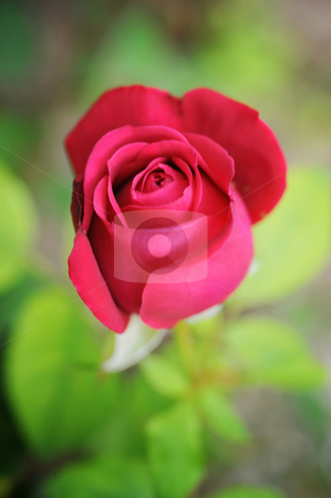Rose stock photo, Rose by Angelique Brunas