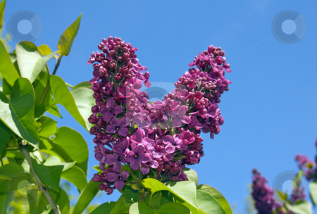 Lilac stock photo, Lilac flowers on blue sky  background by Pavel Cheiko