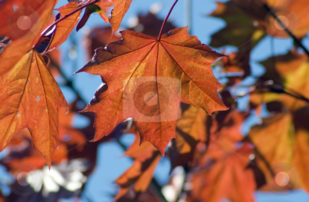 Maple stock photo, Orange maple leaves backlit by sunlight by Pavel Cheiko