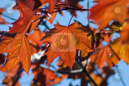 Maple leaves stock photo, Orange maple leaves backlit by sunlight by Pavel Cheiko