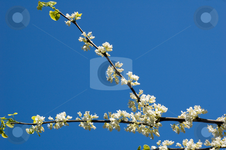 Apple blossom stock photo, Apple blossom against blue sky background by Pavel Cheiko