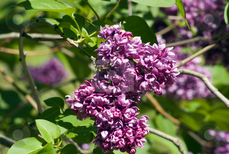 Lilac stock photo, Lilac flowers on blur green leave background by Pavel Cheiko