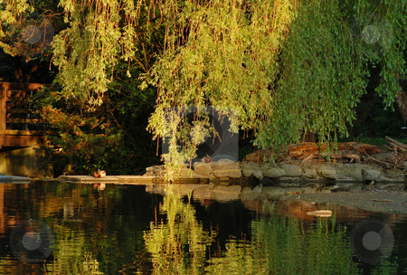 Lake stock photo, Queit view of willow reflection in pond at sunset by Pavel Cheiko