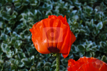 Poppie stock photo, Poppie flower on green meadow by Pavel Cheiko