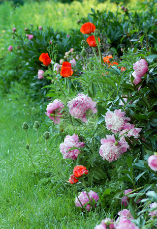 Poppies and peonies stock photo, Red poppies and pink peonies in garden by Pavel Cheiko