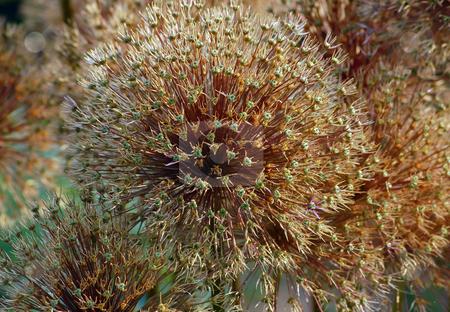 Allium gladiator stock photo, Dry flower of allium gladiator by Pavel Cheiko