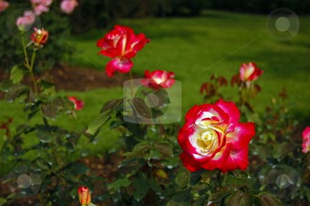 Flowers stock photo, Red rose flower by Pavel Cheiko