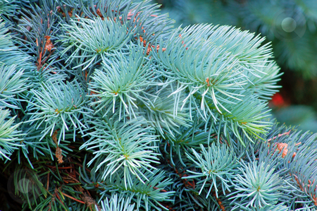 Spruce stock photo, Branches of evergreen tree. by Pavel Cheiko