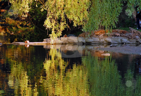 Reflection stock photo, Queit view of willow reflection in pond at sunset by Pavel Cheiko
