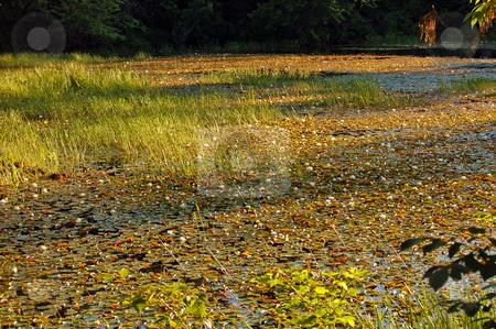 Grassy marsh stock photo, Grassy marsh in sunset light by Pavel Cheiko