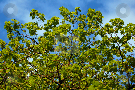 Leaves stock photo, Green leaves in blue sky with clouds background by Pavel Cheiko