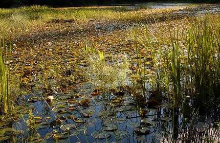 Lake stock photo, Grassy marsh in sunset light by Pavel Cheiko