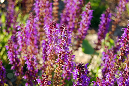 Liatris punctata stock photo, Liatris punctata flowers in sunset light in blure background by Pavel Cheiko