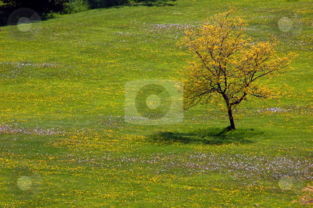 Tree stock photo, Landscape - Lonely tree on the field with small flowers by Pavel Cheiko