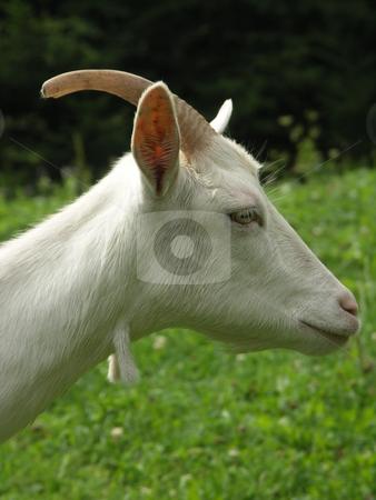 Goat stock photo, Photo by Bartlomiej Jurkowski