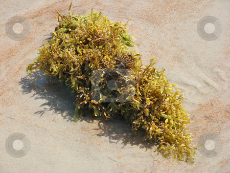 Clump of Seaweed stock photo, Large clump of yellow seaweed on the ocean shore by Maria OBrien