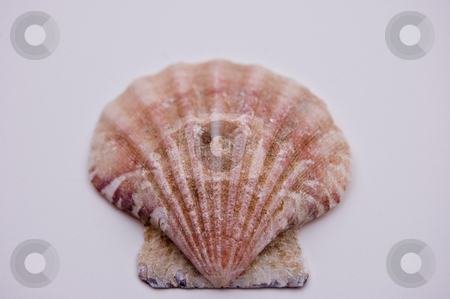 Macro Photo of a Fan Shaped Sea Shell stock photo, This ia a macro photo of a fan shaped beautiful sea shell isolated against a white background. by Valerie Garner