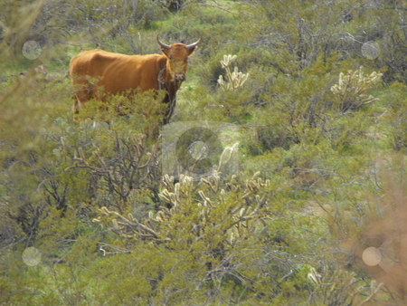 Desert beef cow? stock photo, A cow peers out of hardy vegetation from its desert grazing land in central Arizona near Wickenberg.  In Arizona, ranchers may raise cattle during the fall, winter and spring seasons, then take their cows to market before the onset of the hot, dry summer months. by Dennis Thomsen