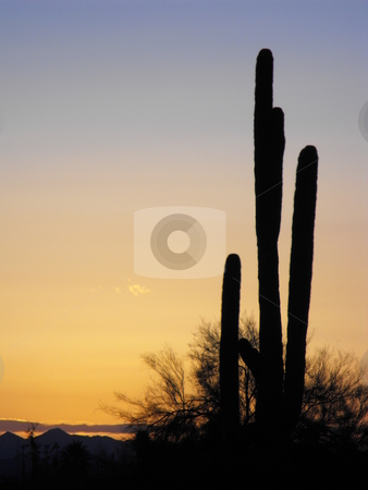Early morning on the desert stock photo, An Arizona saguaro cactus stands tall in silhouette against pink tinted early, morning, sky. by Dennis Thomsen