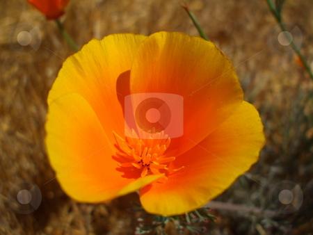 California Poppy Flowers stock photo,  by Michael Felix
